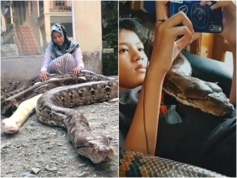 Menina de 14 anos tem seis cobras pítons gigantes como animais de ...